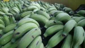 Grüne Bananen auf dem Weg in eine Bananenreiferei